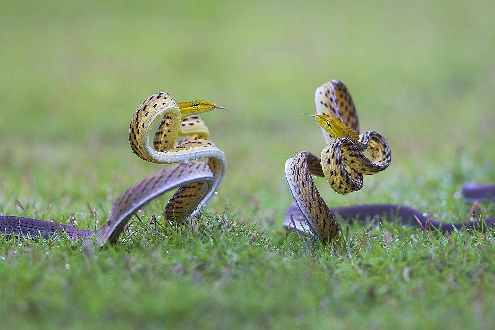 Tác phẩm Vũ điệu hoang dã với rắn như nhảy múa của tác giả Trịnh Việt Dũng / Việt Nam huy chương Đồng GDPC